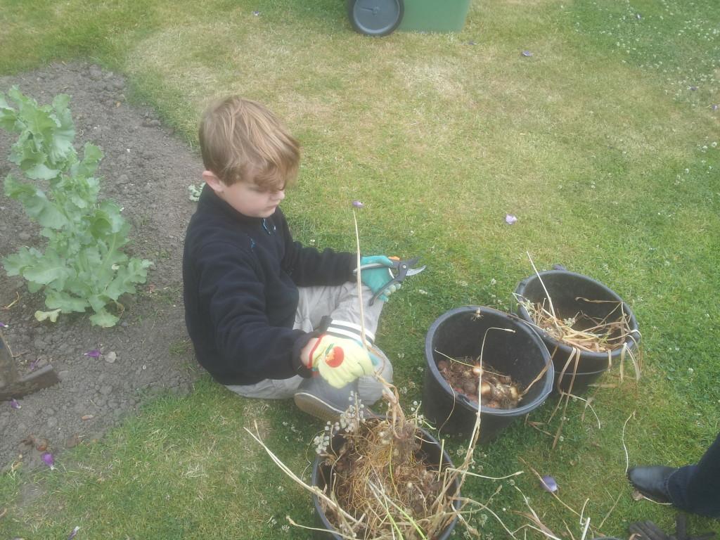Martin klipper toppen af blomsterløg
